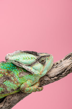 beautiful colorful chameleon sitting on tree branch isolated on pink
