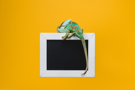beautiful bright exotic chameleon on blackboard in white frame isolated on yellow Foto de archivo - 108319088