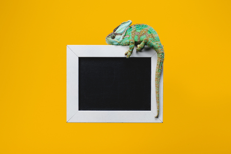 beautiful colorful chameleon on blackboard in white frame isolated on yellow
