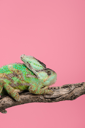 beautiful exotic chameleon sitting on tree branch isolated on pink Stock fotó