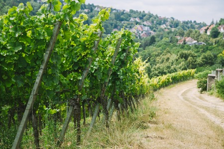 road to village and green vineyard in Wurzburg, Germany 写真素材