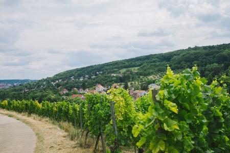 beautiful green vineyard, road and hill in Wurzburg, Germany 写真素材