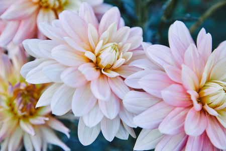 close up of beautiful white and purple chrysanthemums in garden Stock Photo