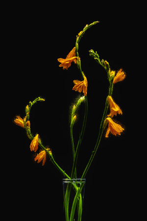 beautiful wet orange lily flowers in transparent vase isolated on black