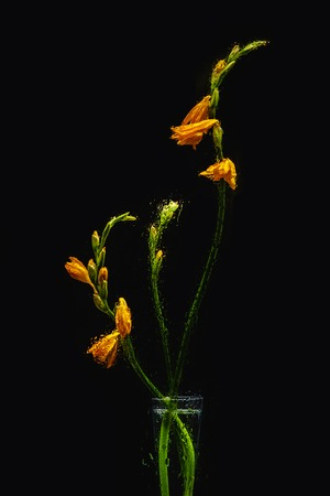 wet orange lily flowers in transparent vase isolated on black