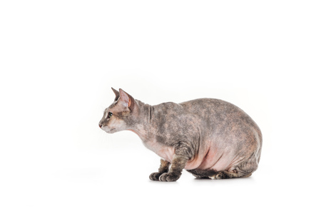 side view of fat grey sphynx cat sitting isolated on white