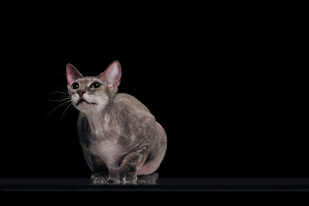 domestic grey sphynx cat looking up isolated on black