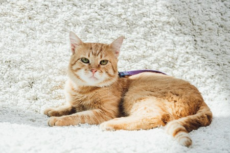 cute domestic red cat with leash lying on white soft carpet in living room and looking at camera Stockfoto