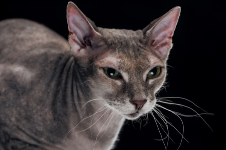 domestic grey sphynx cat looking away isolated on black