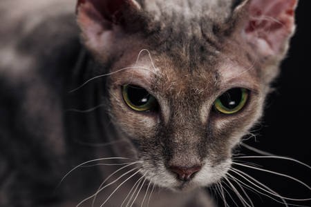 close up of domestic grey sphynx cat isolated on black
