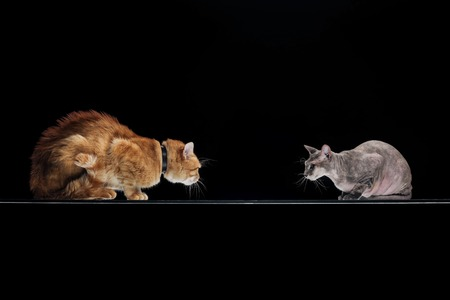 domestic ginger cat and sphynx cat looking at each other isolated on black Stock Photo