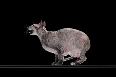 side view of domestic grey sphynx cat meowing isolated on black Stock Photo