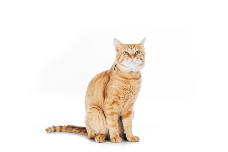 cute domestic tabby cat looking up isolated on white Stock Photo - 108827664