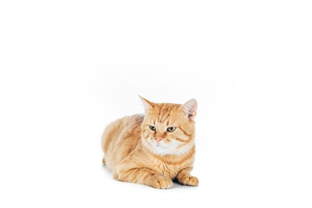 cute domestic red cat lying isolated on white