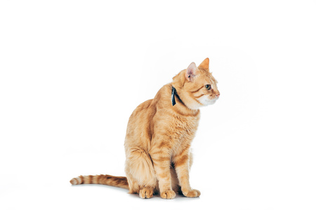 cute furry ginger cat with collar looking away isolated on white