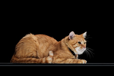 side view of cute orange tabby cat in collar lying isolated on black