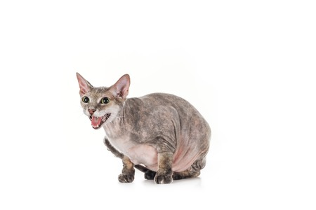 domestic grey sphynx cat sitting and meowing isolated on white
