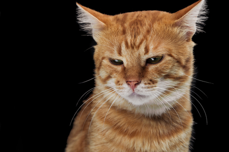 irritated domestic red cat looking down isolated on black