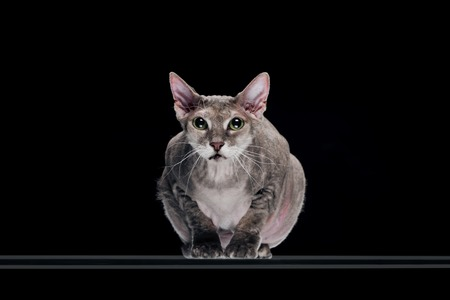 domestic grey sphynx cat sitting isolated on black