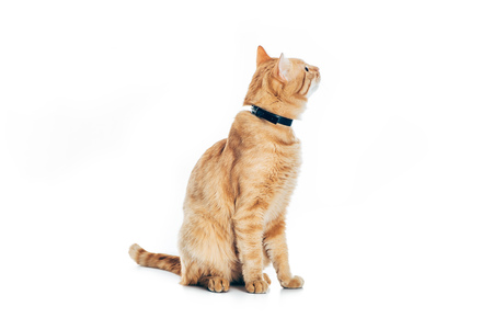 funny red cat in collar looking up isolated on white Stock Photo - 108828256