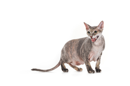 domestic grey sphynx cat standing and meowing isolated on white