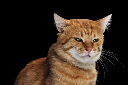 irritated domestic tabby cat isolated on black