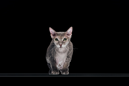 domestic grey sphynx cat looking at camera isolated on black