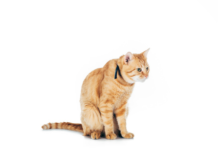 cute domestic red cat with collar looking away isolated on white Stockfoto