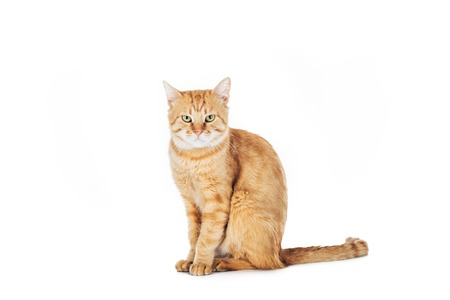 cute domestic red cat sitting and looking at camera isolated on white
