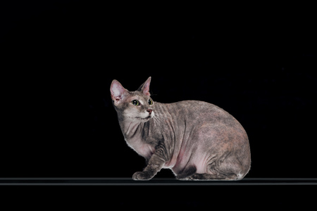 wary grey sphynx cat looking away isolated on black