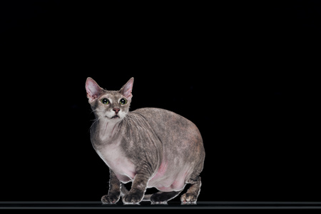 domestic grey sphynx cat standing and looking up isolated on black