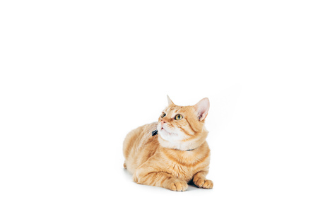 cute domestic ginger cat lying and looking up isolated on white