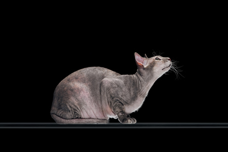 side view of domestic grey sphynx cat looking up isolated on black