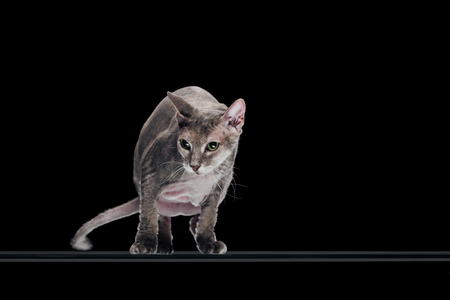 domestic grey sphynx cat moving and looking away isolated on black Stockfoto
