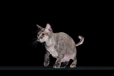 domestic grey sphynx cat jumping isolated on black