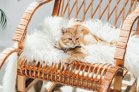 cute domestic ginger cat lying on rocking chair in living room Standard-Bild - 108856770