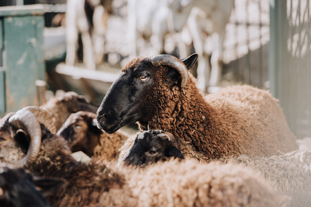selective focus of brown sheep grazing with herd in corral at farm Фото со стока