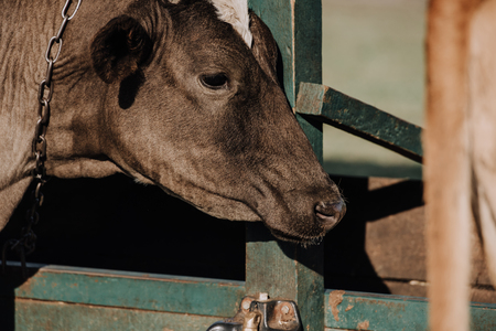 selective focus of adorable domestic calf standing in stall at farm