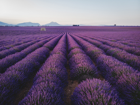 picturesque landscape with blooming purple lavender flowers in provence, france