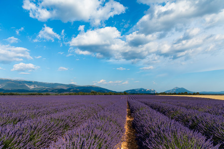 picturesque landscape with beautiful lavender field and distant mountains in provence, france
