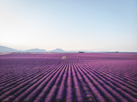 tranquil scene with blooming purple lavender flowers and mountains in provence, france