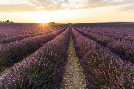 rows of beautiful blooming lavender flowers at sunset, provence, france