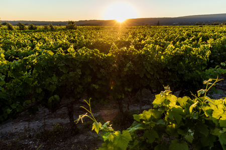 beautiful green vineyard at sunset, provence, france