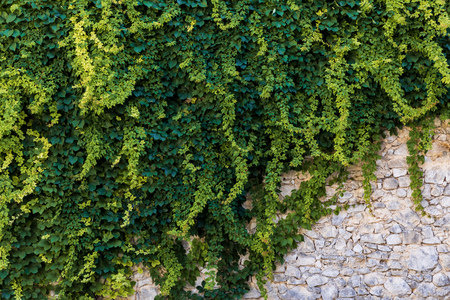 green ivy growing at old stone wall