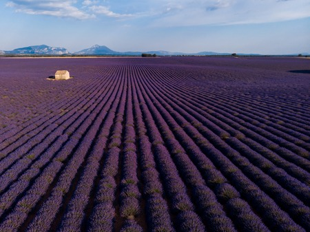 beautiful blooming lavender flowers, farm building and mountains in distance, provence, france