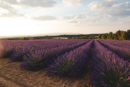 blooming purple lavender flowers on cultivated field in provence, france Zdjęcie Seryjne