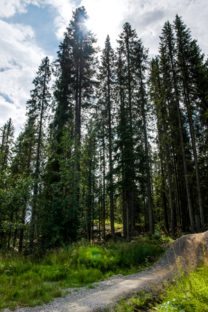 low angle view of trees in forest in Trysil, Norways largest ski resort