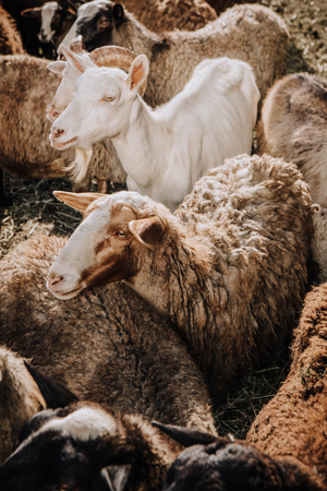 close up view of goat and herd of sheep grazing in corral at farm 写真素材