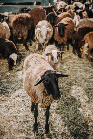 close up view of brown sheep grazing with herd in corral at farm