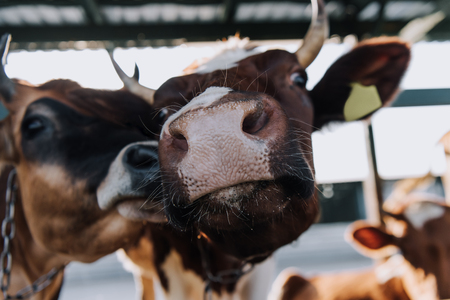 close up portrait of beautiful domestic cows standing in stall at farm